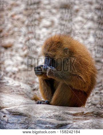 Guinea Baboon In Zoo At Citadel Besancon