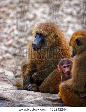Guinea Baboons In Zoo In Citadel In Besancon