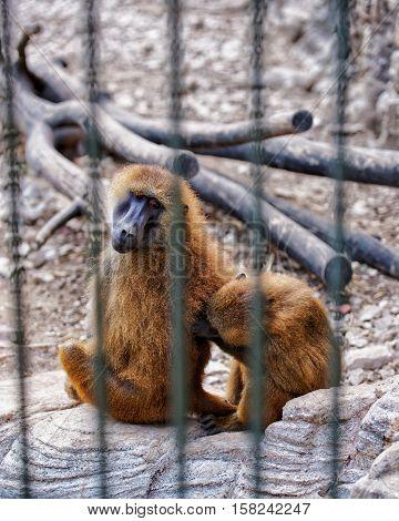 Guinea Baboons In Zoo In Citadel Of Besancon