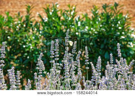 Lavender At Inner Yard In Yverdon In Switzerland