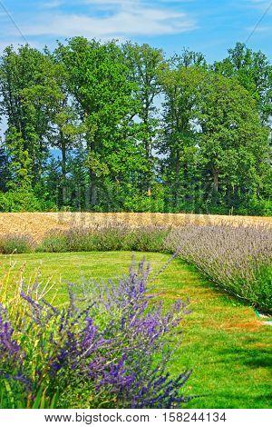Lavender Field In Inner Yard In Yverdon Switzerland