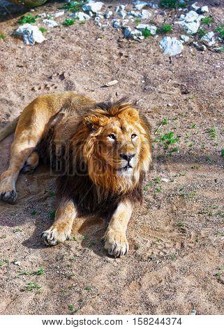 Lion In Zoo In Citadel In Besancon