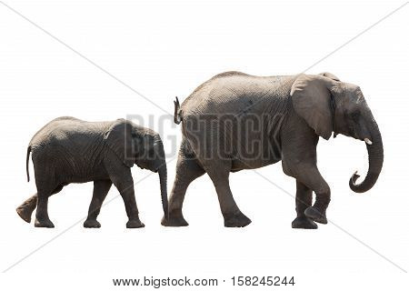 African Desert Elephant Family Cow And Younger Isolated On White Background