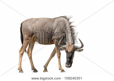 Blue Wildebeest (brindled Gnu) Isolated On White Background