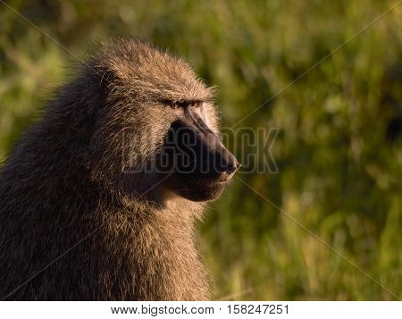 portrait of a baboon in Manyara national park, Tanzania