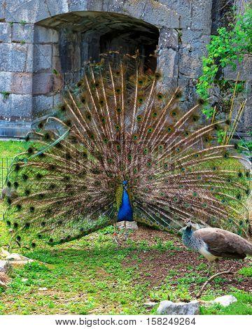 Peacock In Zoo In Citadel In Besancon