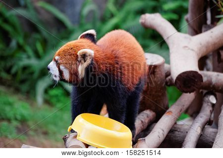 Red panda also called as Ailurus fulgens after eating food in the zoo of the Ocean Park of Hong Kong.