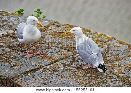 Seagulls At Mont Saint Michel In Normandy At Manche France