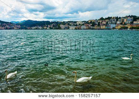 Swans At Promenade In Lugano In Ticino In Switzerland