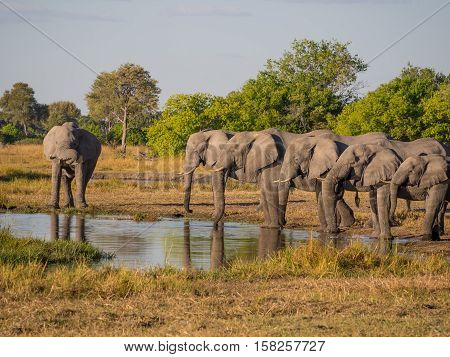 Large group of elephants drinking in row at waterhole in golden afternoon light, Moremi National Park, Botswana, Africa