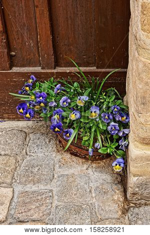 Viola Tricolor In Flowerbed At House In Old Bamberg Germany