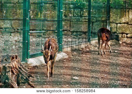 Visayan Spotted Deer In Zoo In Citadel In Besancon