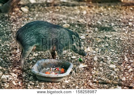 Visayan Warty Pig In Zoo In Citadel In Besancon