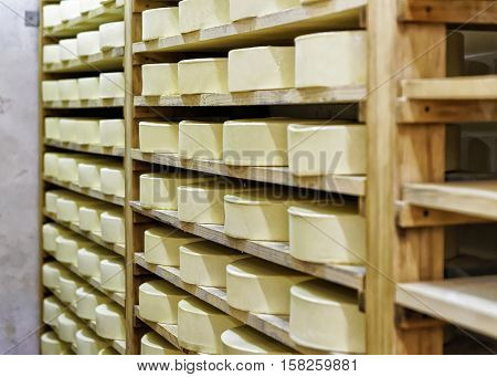 Wheels Of Young Cheese In Ripening Cellar Franche Comte Creamery