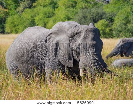 Large African elephant bull grazing in tall river grass with trees in background, safari in Moremi NP, Botswana, Africa