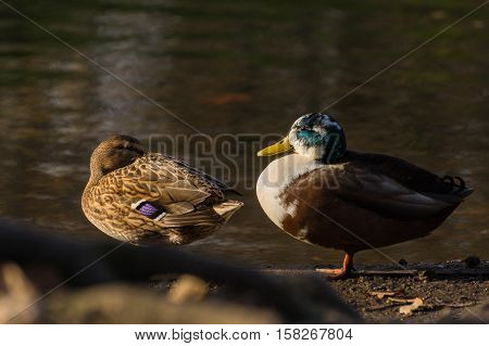 Two Mallard Ducks at the Lake. Ducks at the Lake