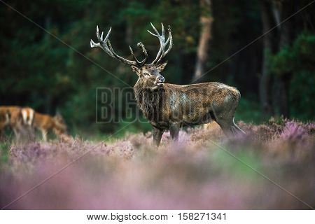 Roaring Red Deer Stag With Big Antlers Standing In Heath. National Park Hoge Veluwe.