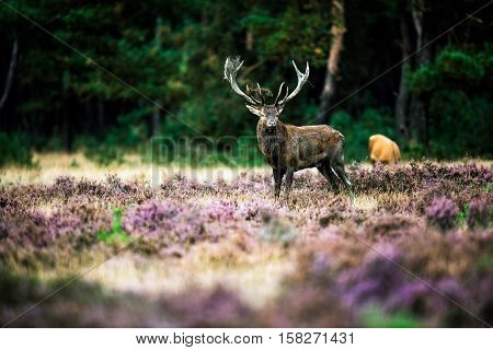 Dominant Red Deer With Dirty Antlers Standing In Heath During Rutting Season. National Park Hoge Vel