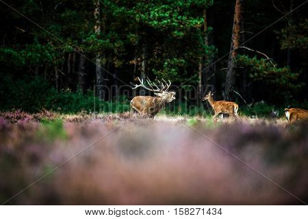 Roaring Red Deer In Mating Season. National Park Hoge Veluwe.