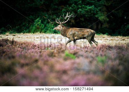 Red Deer Stag Walking In Heath Field During Rutting Season. National Park Hoge Veluwe.