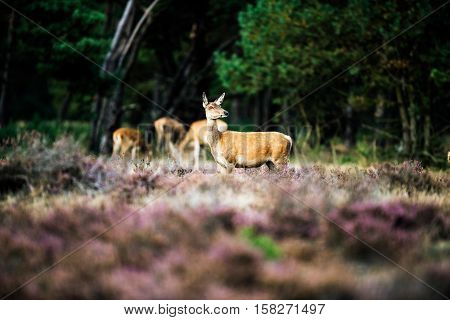 Alert Red Deer Doe Standing In Heath Field. National Park Hoge Veluwe.