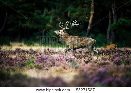 Red Deer Stag Walking In Heath Field During Rutting Season. National Park Hoge Veluwe.