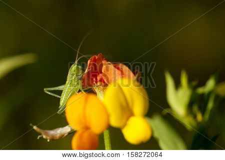 green grasshopper (tettigonia viridissima) sit on flower