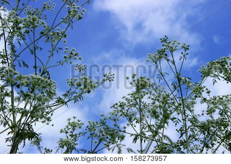 The plant hemlock Umbelliferae. Blossoming small white flowers of the field on a background of blue sky.