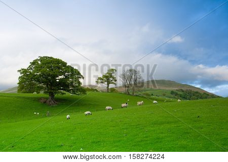 Green fields in the English countryside with grazing sheep and blue sky.Yorkshire Dales National Park England