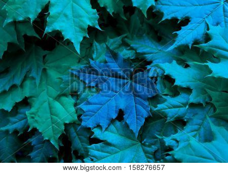 maple leaves green and blue shades with a large blue leaf in the middle of the photo, crisp, dark, unusual appearance, unnatural coloring processed, close-up, full of color as if night background