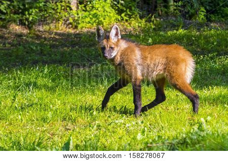 Maned wolf Chrysocyon brachyurus puppy in green poster
