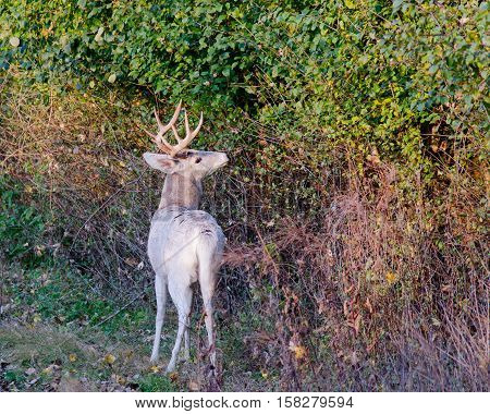Piebald Whitetail Deer Buck standing in a thicket during the rutting season.