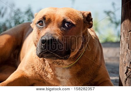 Portrait Of Staffordshire Terrier