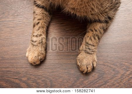 Cat's paws on the dark wooden floor