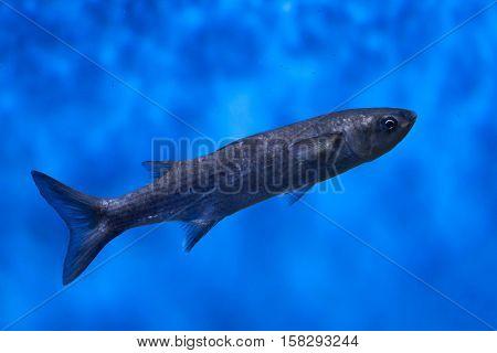 Thicklip grey mullet (Chelon labrosus).