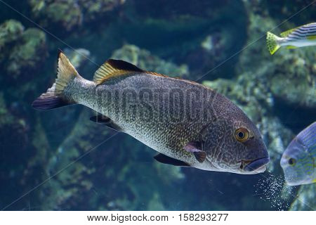 Brown sweetlips (Plectorhinchus gibbosus), also known as the silver grunt.