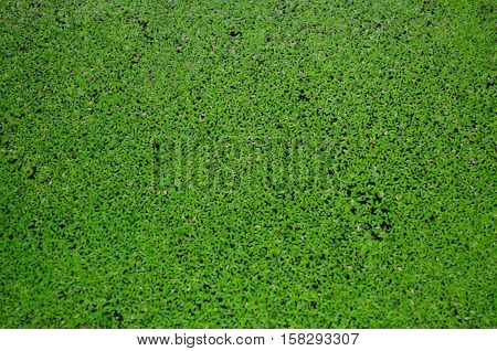 Fresh green spawn in water for background and texture - aquatic plant