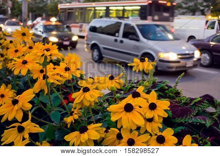 Contrast of yellow flowers and busy street with cars and vehicles at dusk