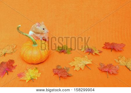 Halloween or Thanksgiving theme with a golden hamster looking towards the copy space. The background is an orange blanket.