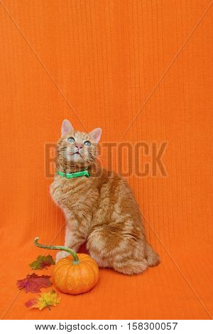 Halloween or Thanksgiving pet theme. Cat has short stubby tail. The background is an orange blanket.
