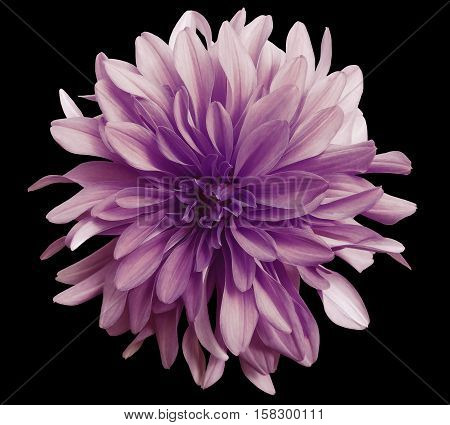 violrt-pink flower on a black background isolated with clipping path. Closeup. big shaggy flower. Dahlia.