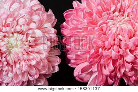 Closeup photo of bright beautiful pink red and white aster flowers on dark background