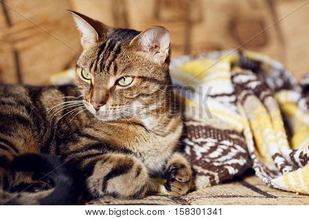 Closeup portrait of cute adorable tabby cat with stripes and yellow green eyes lying on a sofa couch with yellow brown blanket comforter on sunny day
