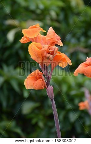 close up canna indica flower in nature garden