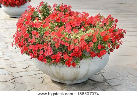 Red Petunia in largest stone flower pot standing on the street