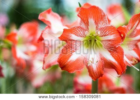 Hippeastrum Amaryllis Red Flowers