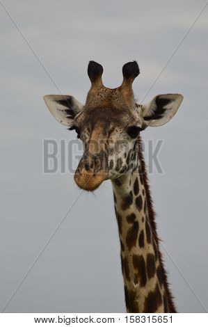 Close up of the head and part of the neck of a Rothschild's giraffe facing the camera with a grey sky in the background.