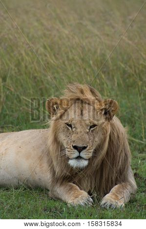 Close up of a young male lion with eyes half closed.