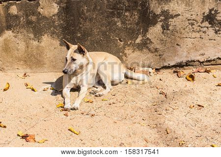 Homeless thai stray dog , animal and pet