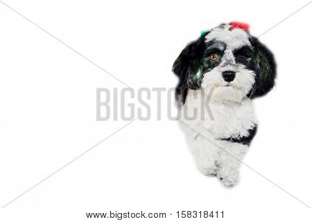 A beautiful Havanese aka Javanese dog wears a Red Santa Claus Hat for the Christmas Holidays. Isolated on white with room for your text.